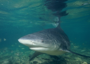 the bull shark - a nasty man-eating varmint
