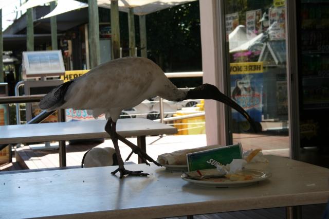 a cheeky ibis