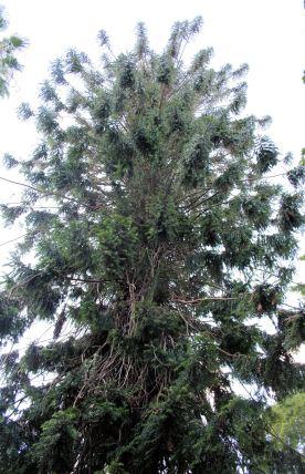 Bunya pine planted in 1854