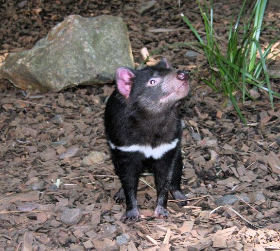 the inevitable Tasmanian devil